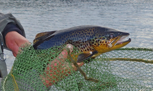 hill loch brown trout